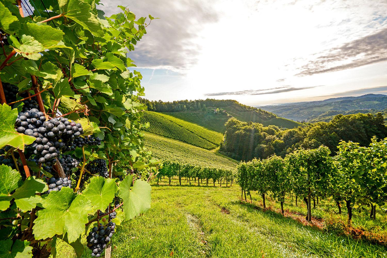 Wohnen am Klingertal Meissen - Wein Weintrauben Weinberge Rebstock Rebe